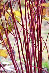 Red Osier Dogwood (Cornus sericea) at Classic Landscape Centre