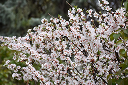 Nanking Cherry (Prunus tomentosa) at Classic Landscape Centre