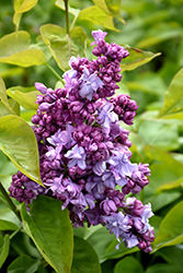 Katherine Havemeyer Lilac (Syringa vulgaris 'Katherine Havemeyer') at Classic Landscape Centre