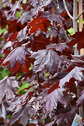 Prairie Splendor Norway Maple (Acer platanoides 'Prairie Splendor') at Classic Landscape Centre