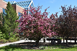 Makamik Flowering Crab (Malus 'Makamik') at Classic Landscape Centre