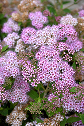 Little Princess Spirea (Spiraea japonica 'Little Princess') at Classic Landscape Centre