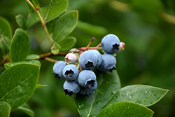 Northcountry Blueberry (Vaccinium 'Northcountry') at Classic Landscape Centre